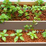potager culture substrat billes argiles aquaponie potager AURA système agriculture inodore