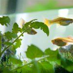 système AURA guppy poissons aquaponie agriculture inodore urbain espace de travail