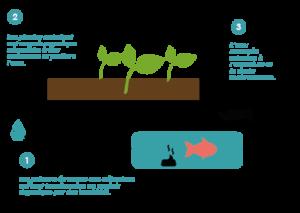 Explication du fonctionnement de la technique d'agriculture de l'aquaponie. Circuit fermé qui permet une symbiose entre poissons, bactéries et plantes.