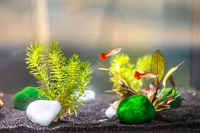 La culture hydroponique et l'aquaculture avec des poissons